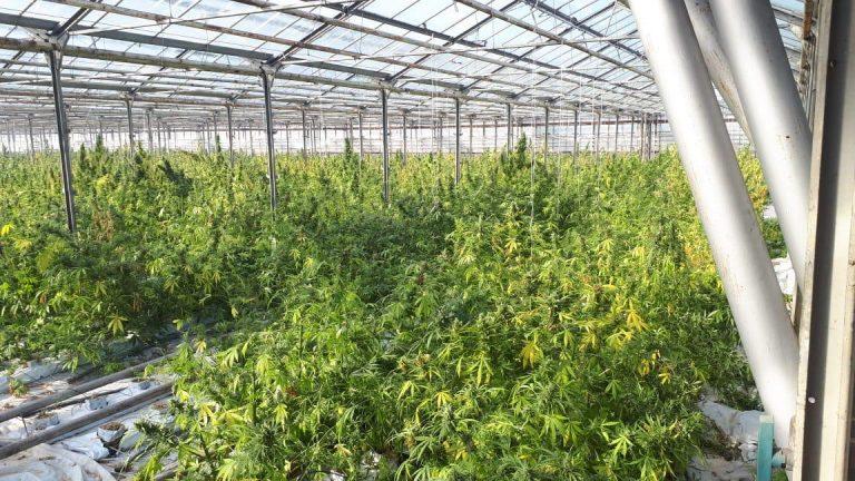 """Найбільша плантація марихуани на Прикарпатті (""""Яблунів – це вам не Амстердам"""")"""
