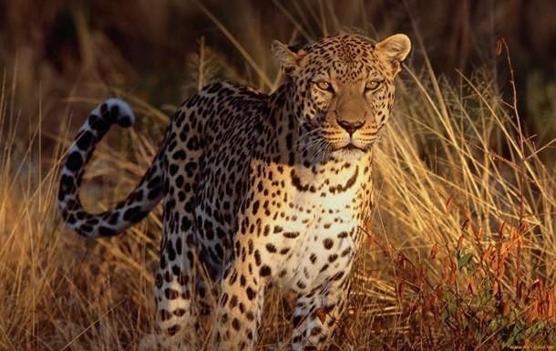В Індії леопард роздер п'ятирічну дитину