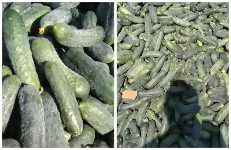 Огірки за 1 гривню: фермери на Херсонщині викидають врожай через обвал цін (відео)